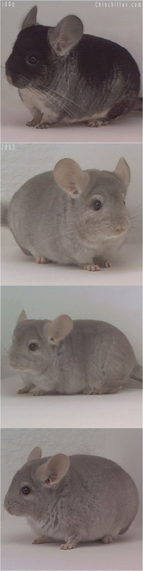 Lot 49 TOV Beige / Brown Velvet Producing Pair Chinchilla