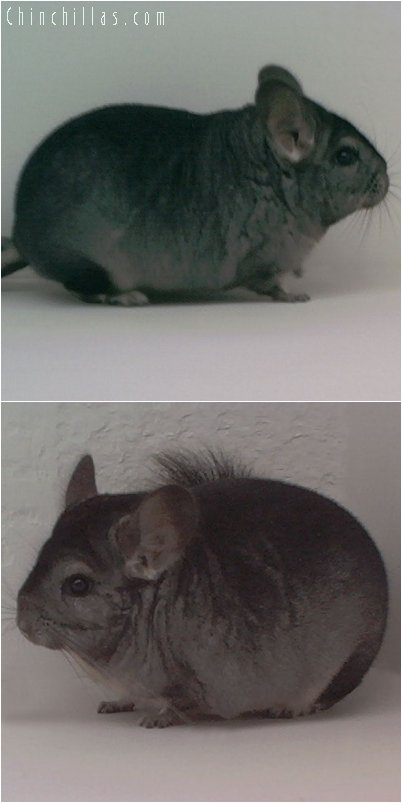 1974 Light Hetero Ebony Female Chinchilla