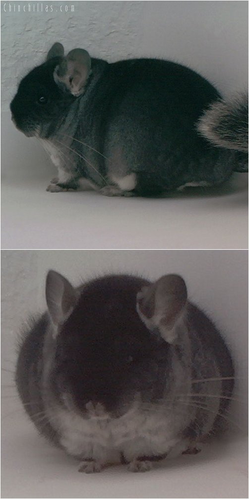 2010 Top Show Quality Black Velvet Male Chinchilla
