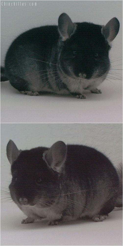 2014 Show Quality Black Velvet ( Ebony Carrier ) Male Chinchilla