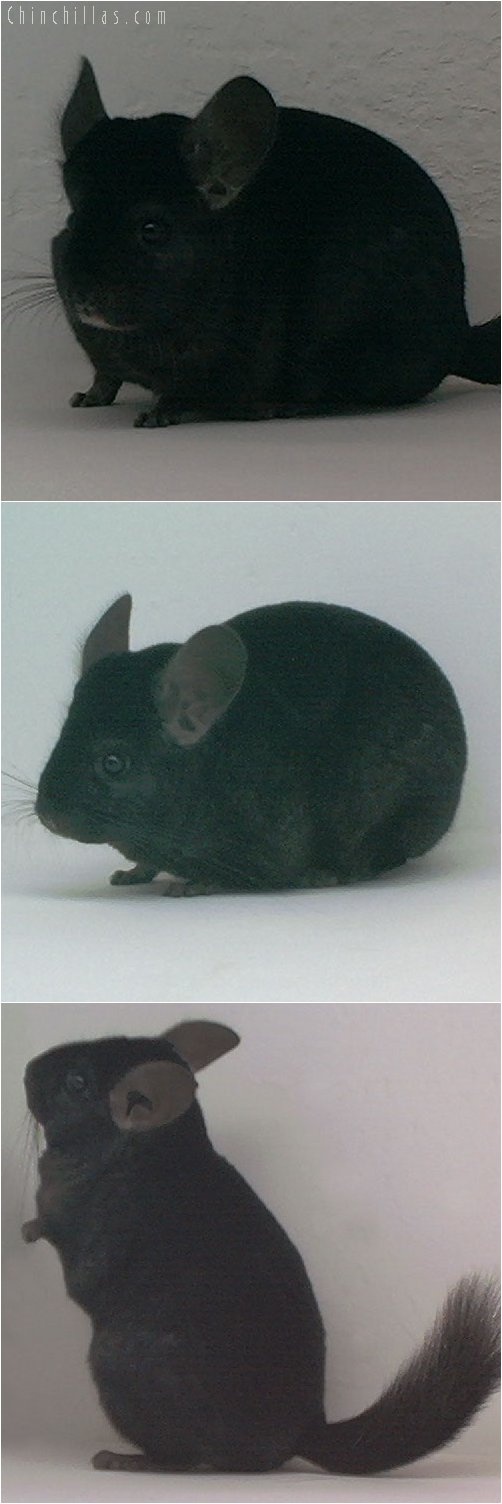 1879 National Res Color Champion Ebony Female Chinchilla