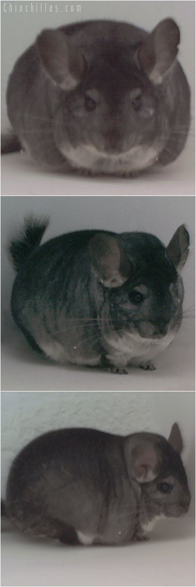 1886 National Reserve Section Champion Standard Female Chinchilla