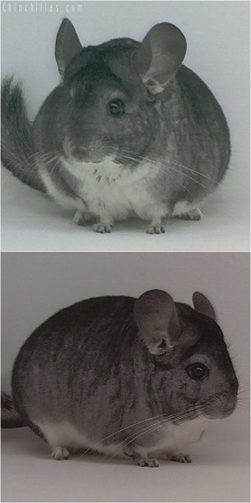 1978 1st Place Standard Female Chinchilla