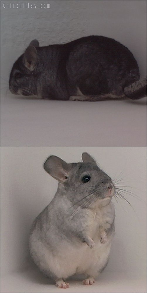 Lot 51 Silver / White Producing Pair Chinchilla