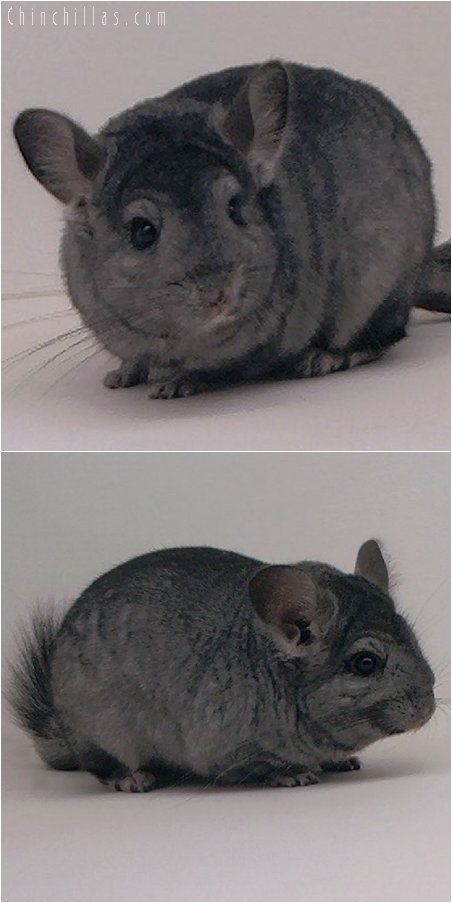 2039 Hetero Ebony ( Violet Carrier ) Female Chinchilla