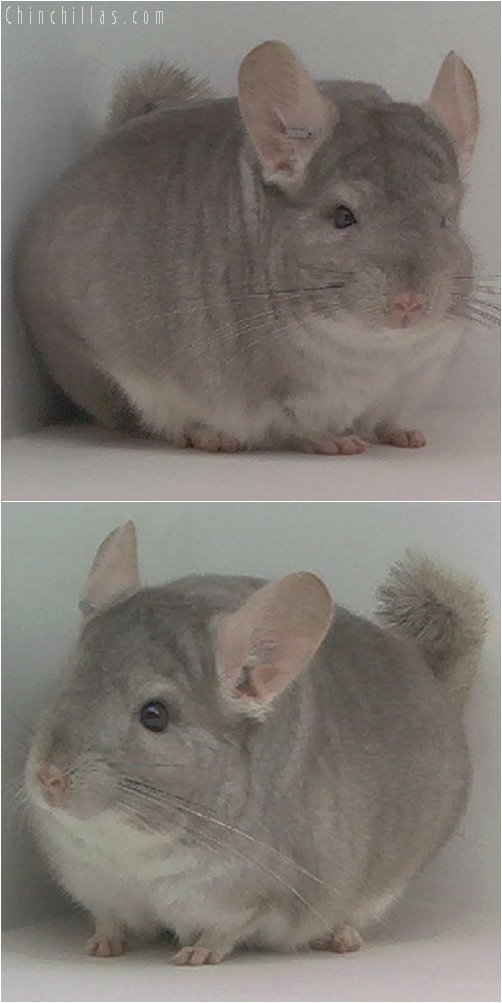 1967 1st Place Beige ( Violet Carrier ) Male Chinchilla