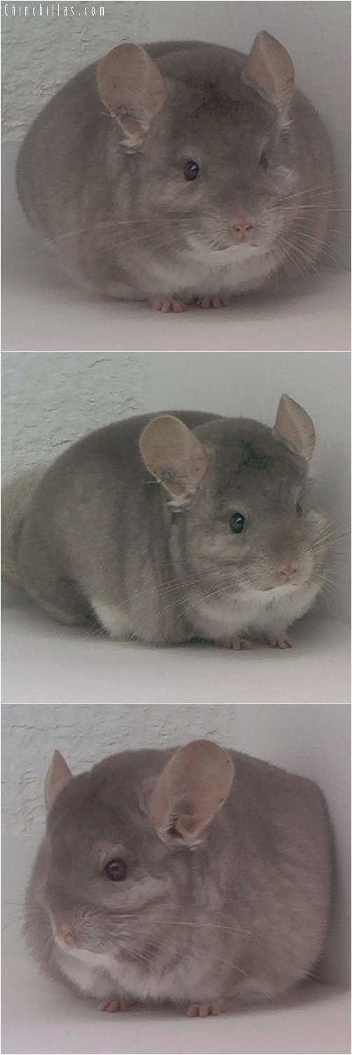 1940 Reserve Section Champion Beige Male Chinchilla