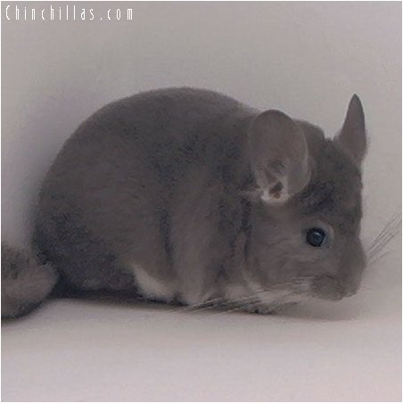 2050 Show Quality Violet Female Chinchilla