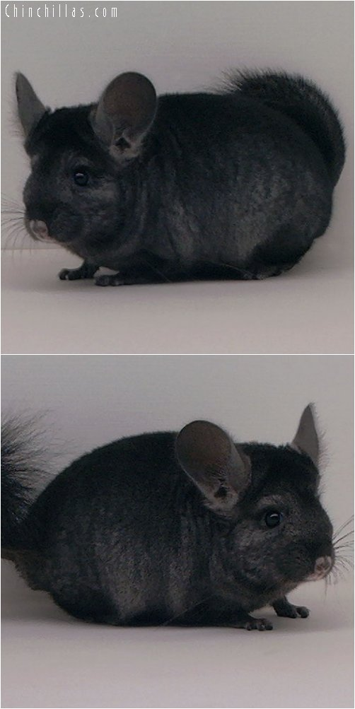 2036 Ebony ( Violet Carrier ) Male Chinchilla