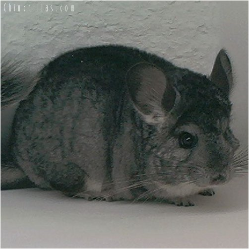 2015 Large Standard ( Violet Carrier ) Female Chinchilla