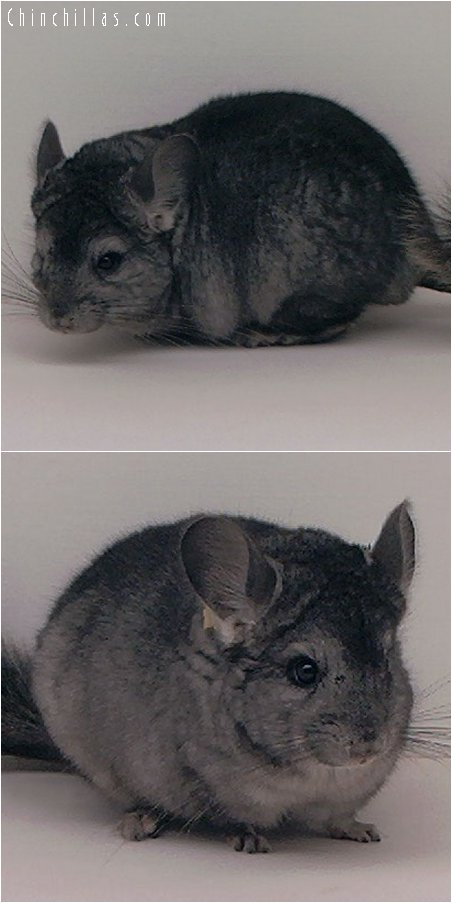 2032 Ebony ( Violet Carrier ) Male Chinchilla