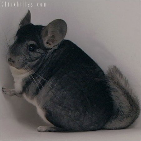 1971 National First Place Standard Male Chinchilla
