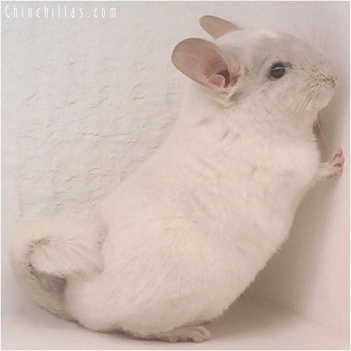 1998 Pink White Female Chinchilla