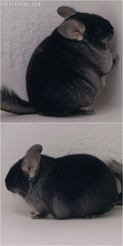 2024 Blocky Show Quality Black Velvet Female Chinchilla