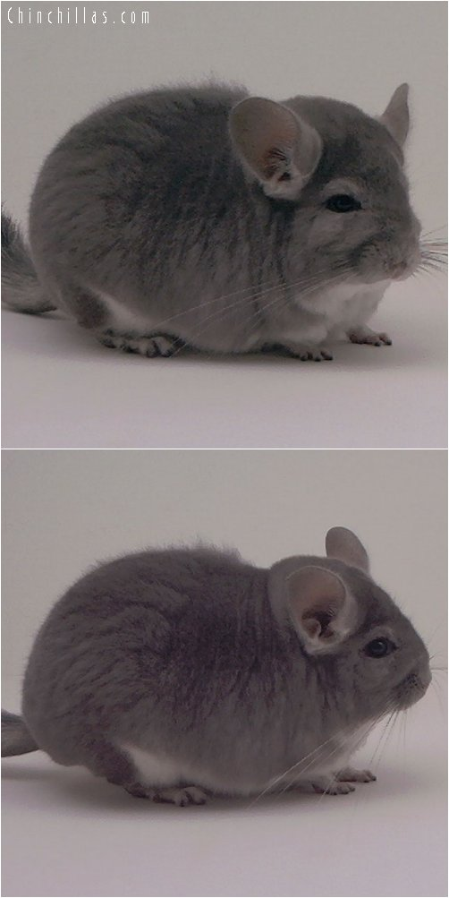 1943 Section Champion Violet Male Chinchilla