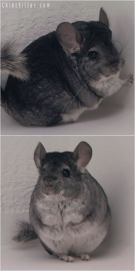 2052 Top Show Quality Standard Female Chinchilla