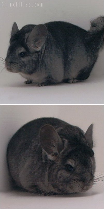 2054 Standard ( Ebony Carrier ) Female Chinchilla