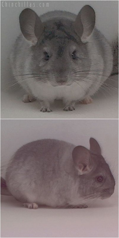 2018 Silver Female Chinchilla