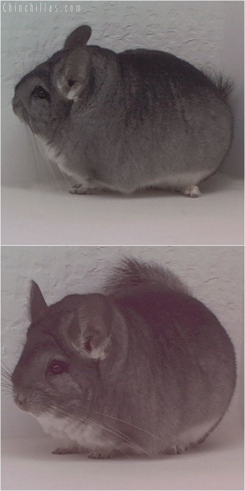 1947 Grand Show Champion Standard Female Chinchilla
