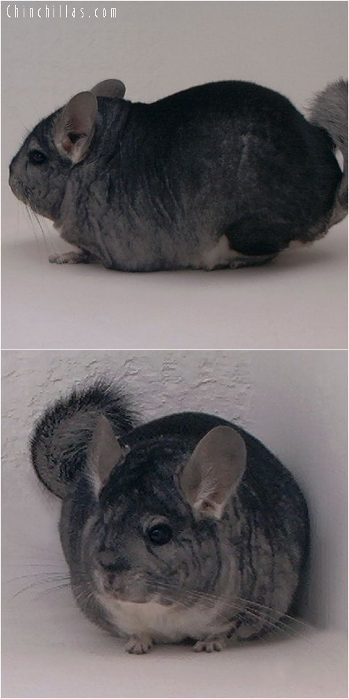 2048 Large Show Quality Standard Male Chinchilla