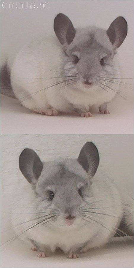 2019 Top Show Quality White Mosaic Female Chinchilla