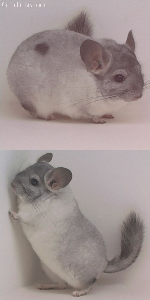 1936 First Place White Mosaic Male Chinchilla