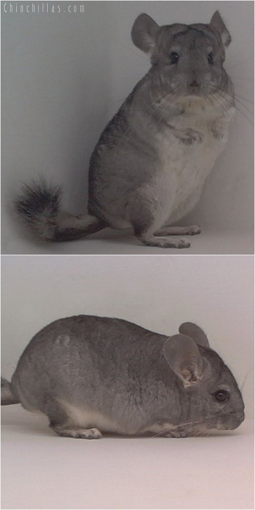 1990 Showable Standard ( Sapphire Carrier ) Male Chinchilla