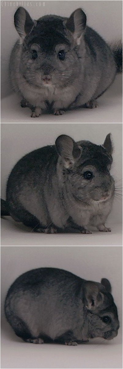 2066 Hetero Ebony ( Violet Carrier ) Male Chinchilla