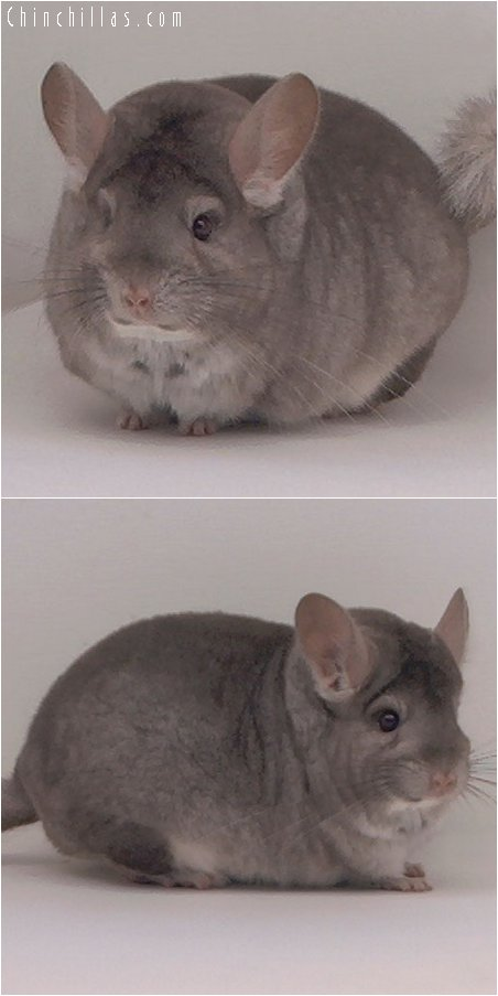2065 Top Show Quality Beige Female Chinchilla