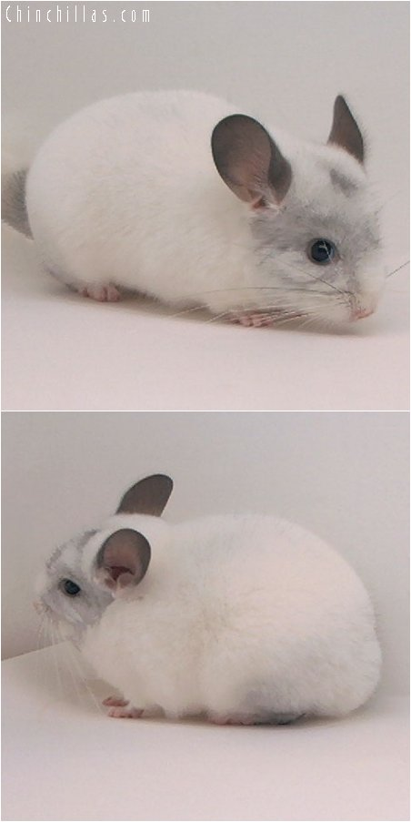 2067 White Mosaic Female Chinchilla