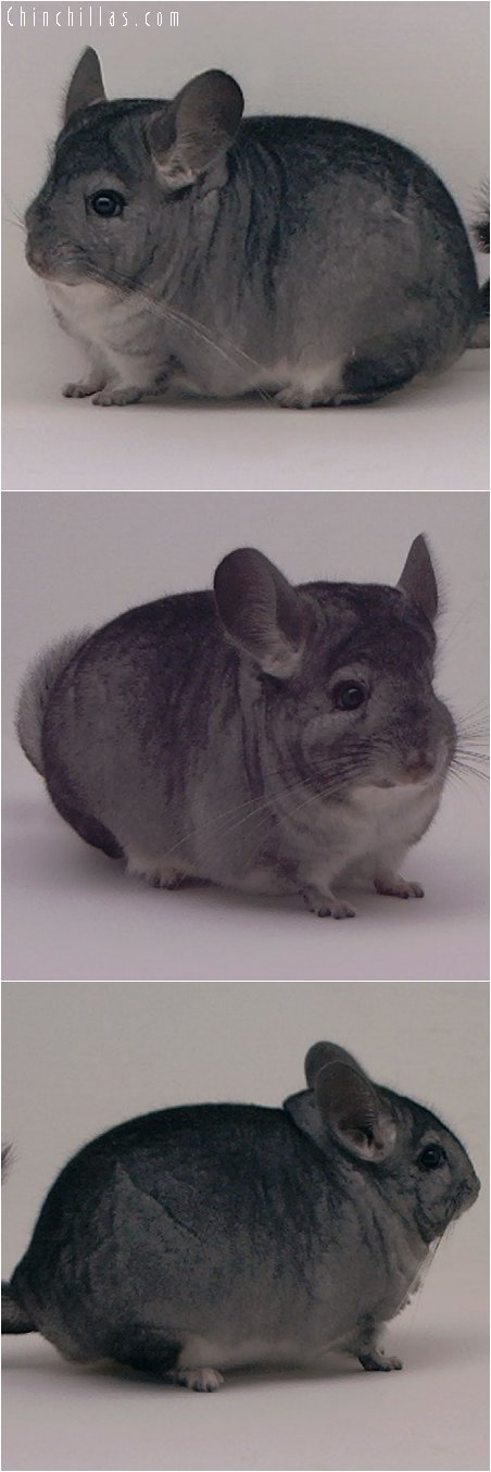 2068 Top Show Quality Standard Female Chinchilla