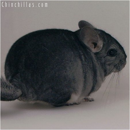2063 Exceptional Standard Female Chinchilla
