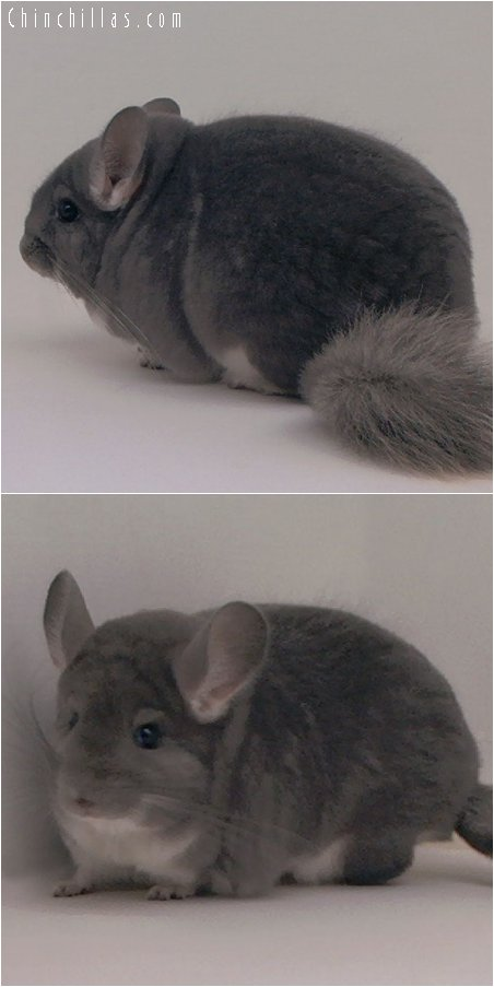 2075 Top Show Quality Violet Female Chinchilla