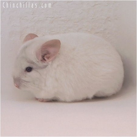 2070 Beige & White Mosaic Female Chinchilla