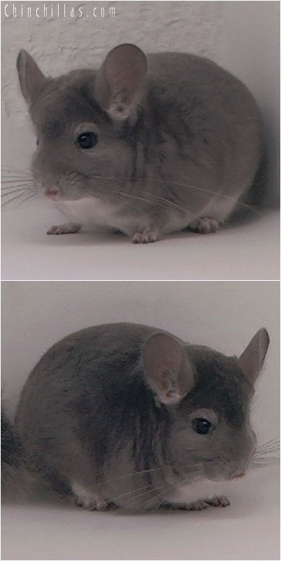 2053 Show Quality Violet Male Chinchilla