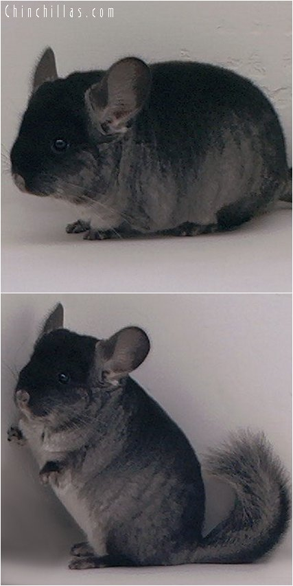 2051 Black Velvet ( Ebony Carrier ) Male Chinchilla