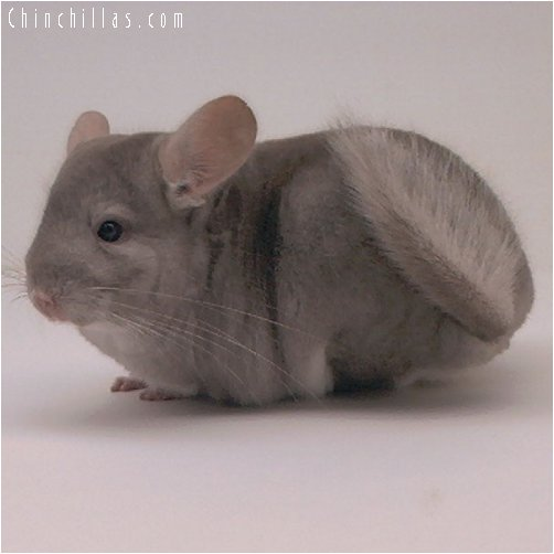 2055 Top Show Quality Beige Male Chinchilla