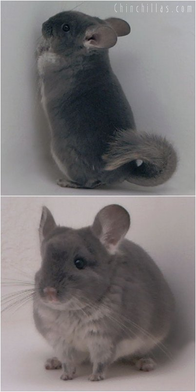2077 TOV Violet Female Chinchilla