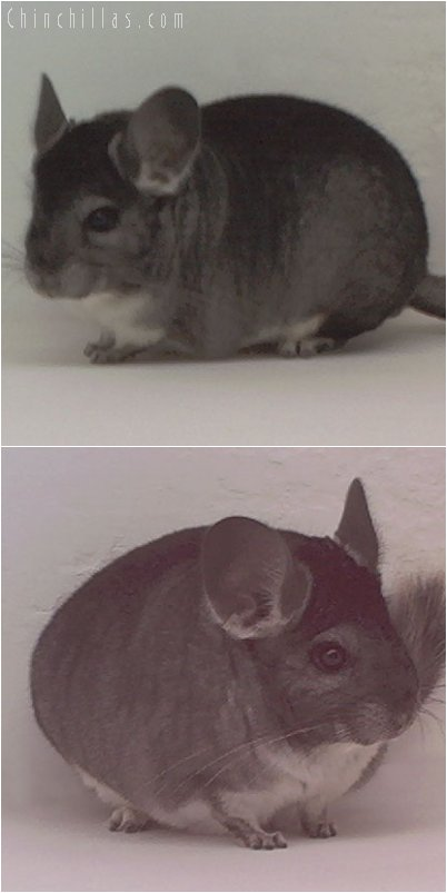 1979 1st Place Standard Female, $1 Min. Bid Chinchilla
