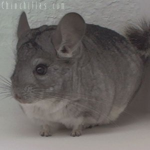 1892 Show Quality Standard ( Sapphire Carrier ) Male Chinchilla