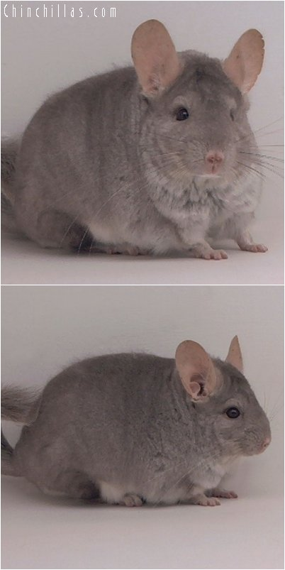 2025 Show Quality Beige Female Chinchilla