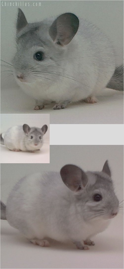 2020 Show Quality Mosaic Female Chinchilla