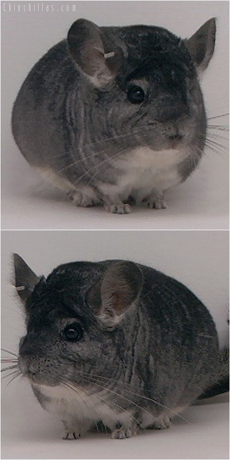 1968 National 1st Place Standard Male Chinchilla