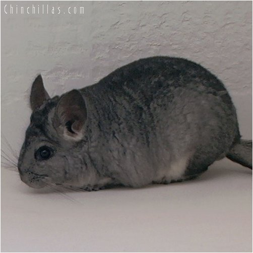 2040 Standard ( Violet Carrier ) Female Chinchilla