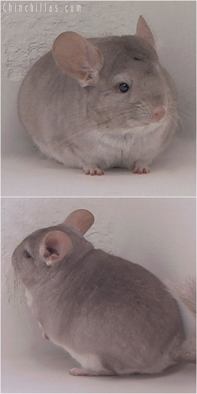 2072 Blocky Beige Male Chinchilla