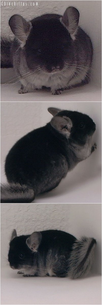 2085 Brevi - type Black Velvet Female Chinchilla