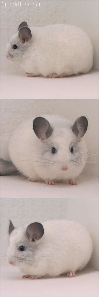 2084 Large Blocky White Female Chinchilla