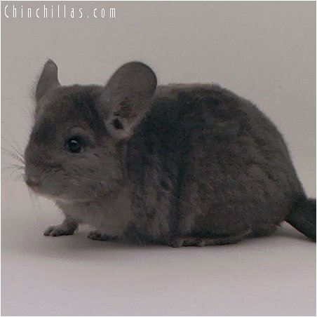 2086 Wrap-around Violet Female Chinchilla