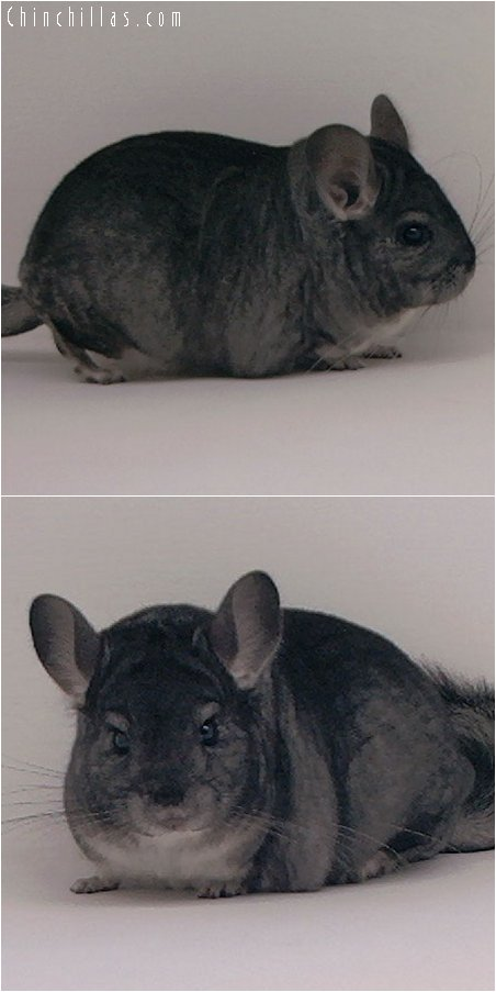 2087 Top Show Quality Standard Female Chinchilla