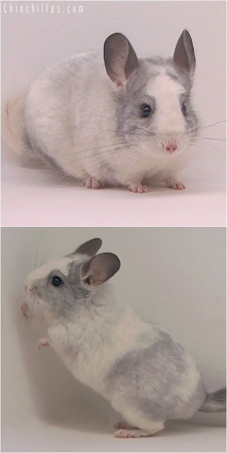 2079 Splotchy Mosaic Female Chinchilla